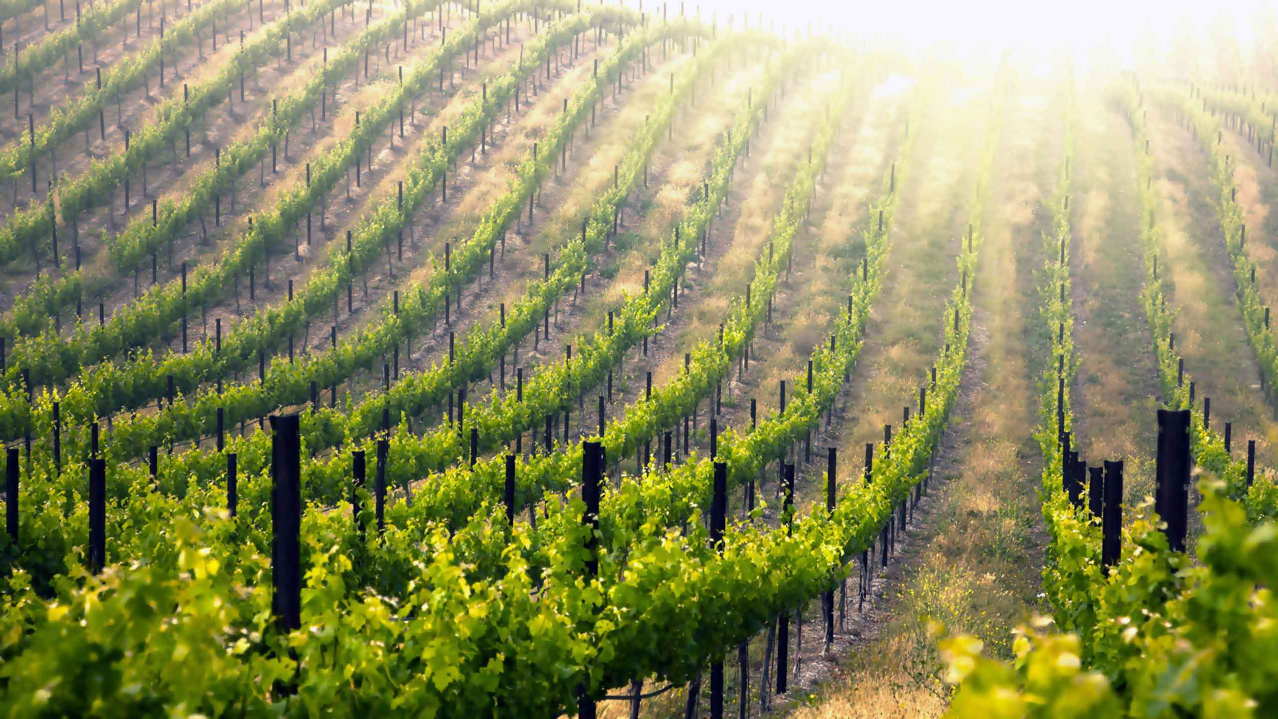 Willamette Valley Vineyard Tours by Limo